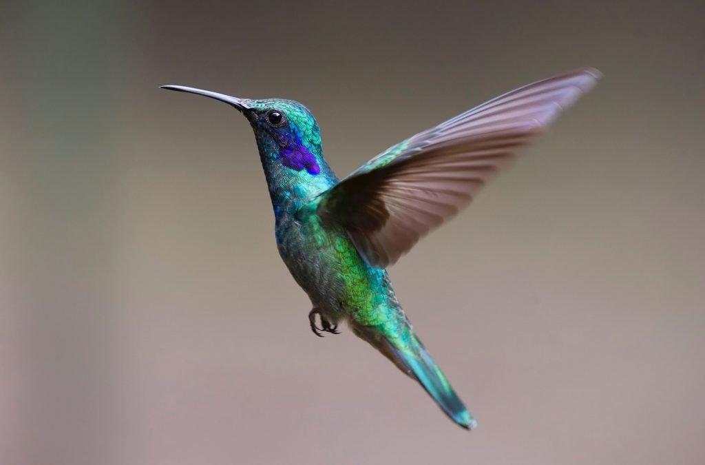 Chuparosa - Hummingbird